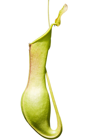 nepenthes: Nepenthes Isolated