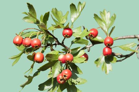 hemlock: A hawthorn berry plant isolated on hemlock