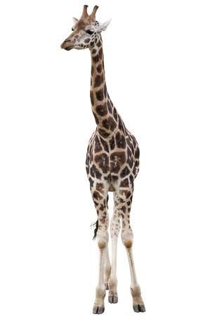 an ungulate: Giraffa isolato