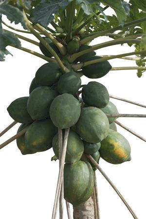 papaw: Isolated Papaya Tree