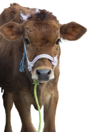 tethered: Calf Isolated Stock Photo