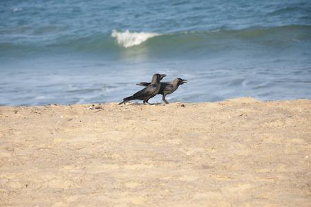 Crows feeding at the beach in Arugam Bay, Sri Lanka photo