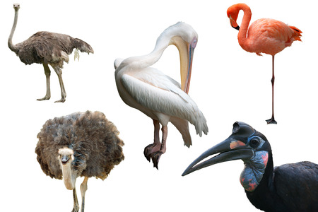 Ostriches, a Pelican, a Flamingo and an Abyssinian Ground Hornbill isolated on white photo