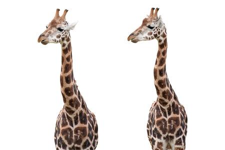terrestrial mammal: Giraffes Isolated