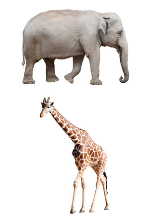 wallowing: An Asian Elephant and a Giraffe Isolated Stock Photo