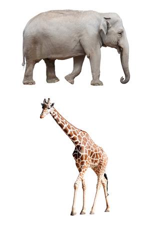 terrestrial mammal: An Asian Elephant and a Giraffe Isolated Stock Photo