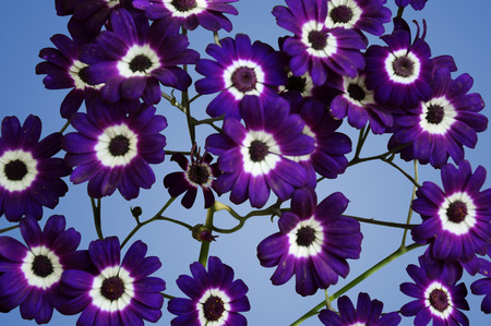 uplifting: Purple Cineraria Isolated