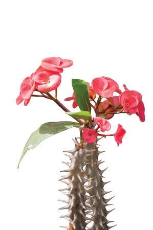 uplifting: A Beautiful Bunch of Euphorbia Isolated Stock Photo