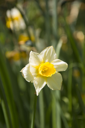 uplifting: A Beautiful Daffodil in Spring Stock Photo