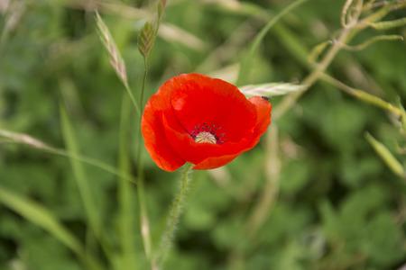 uplifting: Poppy