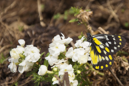 bir: A Pieridae Butterfly in Spring in Bir, India