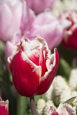pink tulips: Beautiful Reddish Pink Tulips in Spring in the Netherlands