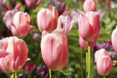 pink tulips: Beautiful Pink Tulips in Spring in the Netherlands Stock Photo