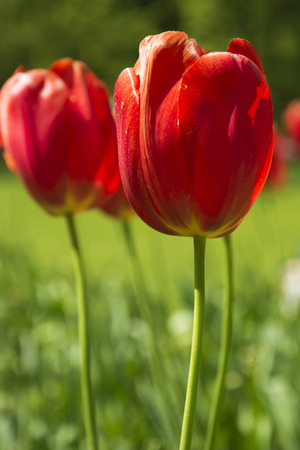 red tulips: Beautiful Red Tulips in Spring in the Netherlands