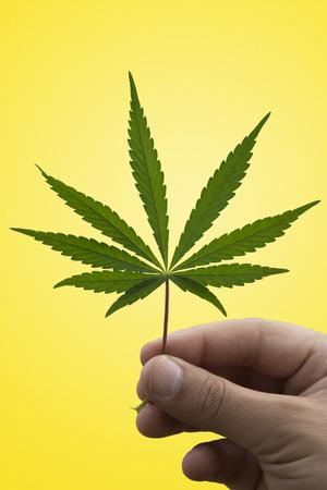 marijuana leaf: A Man Holding a Marijuana Leaf Stock Photo