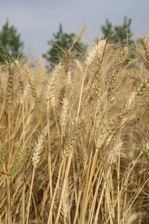 punjab: A Wheat Field in April in Punjab, India Stock Photo