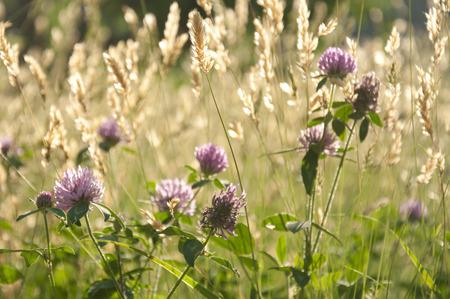 cebollines: Cebollino y campos de trigo Foto de archivo