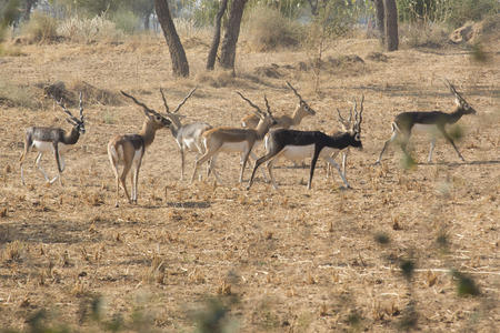 rajasthan: Black bucks in Rajasthan, India
