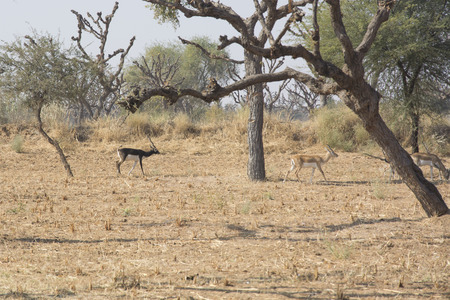 black tail deer: Black bucks in the wild in Rajasthan, India