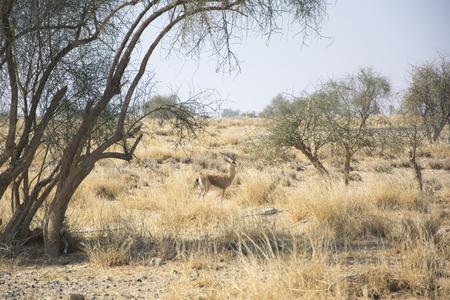 gazelle: Chinkara The Indian Gazelle in the Desert National Park, Rajasthan, India Stock Photo