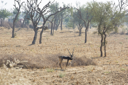 black buck: A black buck in the wild in Rajasthan, India