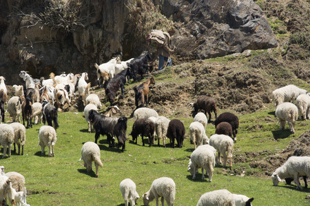 pradesh: Sheep and Goats in Himachal Pradesh, India Stock Photo