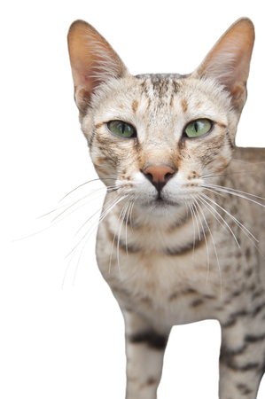 feral: A Feral Cat Isolated Stock Photo
