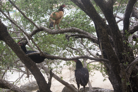 koh tao: Hens on a Tree at a Beach in Koh Tao, Thailand