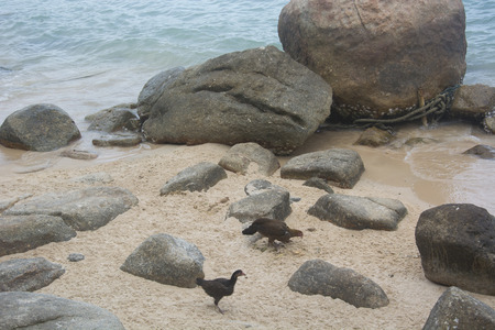 tao: Hens at a Beach in Koh Tao, Thailand Stock Photo