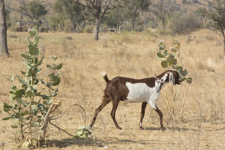 wild goat: A Wild Goat in Rajasthan, India
