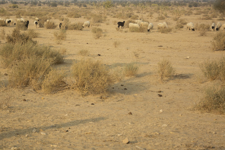 thar: Flock of Sheep and Goats in the Thar Desert, India Stock Photo