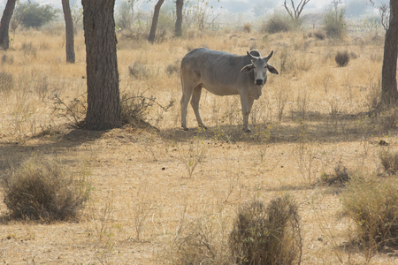 ungulate: A Cow in a field in Rajasthan, India