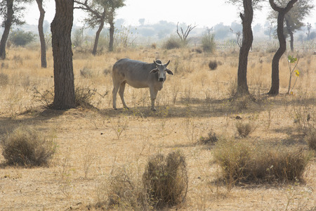 india cow: A Cow in a field in Rajasthan, India