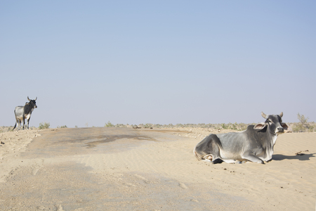 ungulate: A Cow and a Bull in the Thar Desert in Jaisalmer, Rajasthan in India