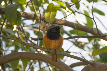 lemon tree: A Redstart on the Branch of a Lemon Tree in Chandigarh, India