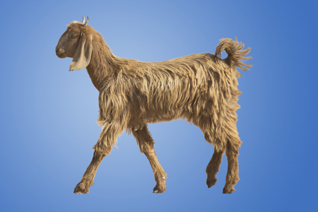 rajasthan: A Desert Goat in Rajasthan, India, Isolated Stock Photo