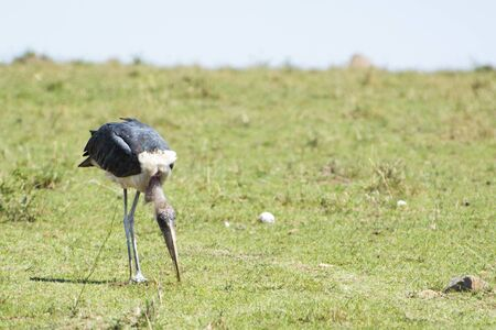 Marabou Stork in Masai Mara National Park in Kenya Stock Photo