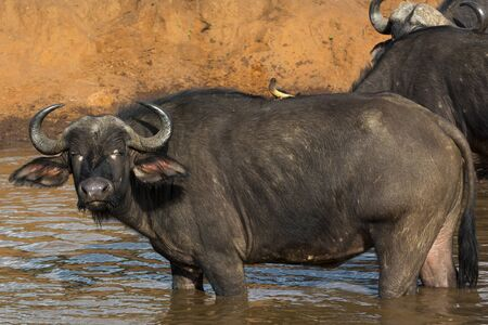 An African Buffalo standing in a watering hole in Masai Mara on a sunny September afternoon