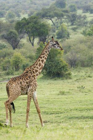 A Rothschild Giraffe Walking in Masai Mara, Kenya on a September evening