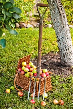 Pitchfork beside basket wicker basket of fruit in garden Stock Photo