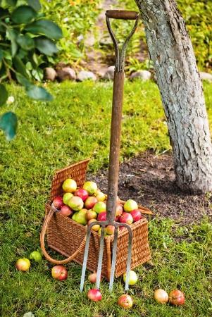 Pitchfork beside basket wicker basket of fruit in garden Stock Photo