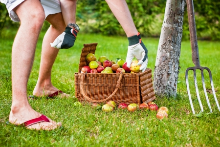 Picking apples to wicker basket in orchard Stock Photo