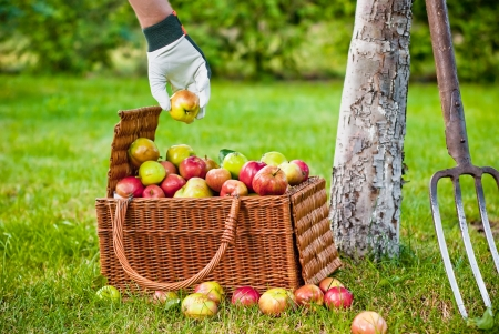 Picking fruits to wicker basket in orchard