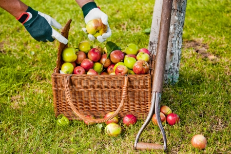 Picking apples to the wicker basket
