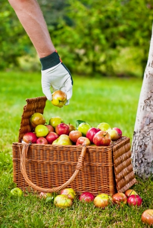 Picking apples to basket in orchard Stock Photo