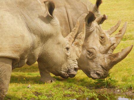 Three Rhinos