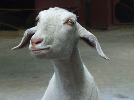 Begging Goat Stock Photo