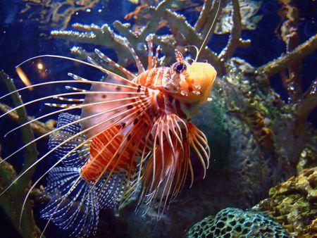 Zebra Lionfish Stock Photo - 512646