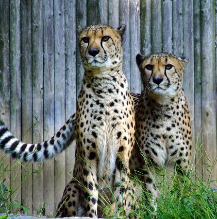 Two African Cheetahs Stock Photo