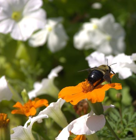 Bee ready to take off from flowers